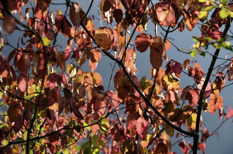 Estação vermelha do outono das folhas foto de stock