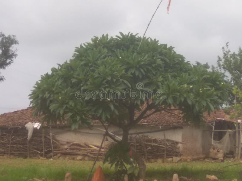 Esta árvore é Champa e tem as flores brancas e é a árvore da Índia imagem de stock royalty free