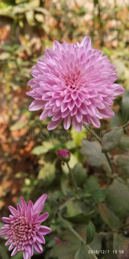 Esta é a flor de india fotografia de stock royalty free