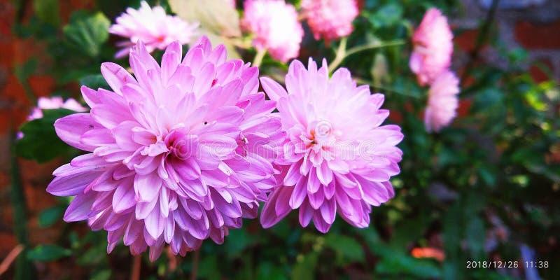 Esta é a flor de india imagem de stock