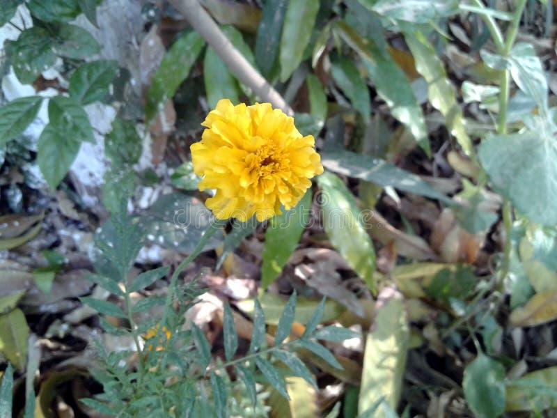 Esta é a imagem da uma flor amarela do cravo-de-defunto com folhas verdes imagem de stock
