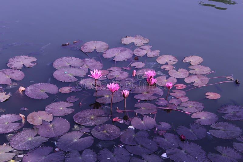 Esta es la flor de lili de agua y x27;s, estas flor y x27;s se esperan en el agua imagenes de archivo
