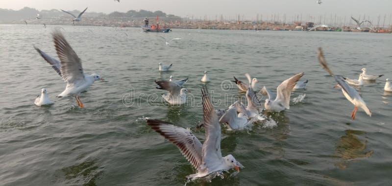 Esta es la imagen de los pájaros siberianos que llegaron al sangam de Allahabad en India foto de archivo libre de regalías