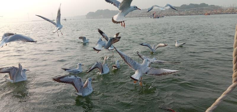 Esta es la imagen de los pájaros siberianos que llegaron al sangam de Allahabad en India imagen de archivo