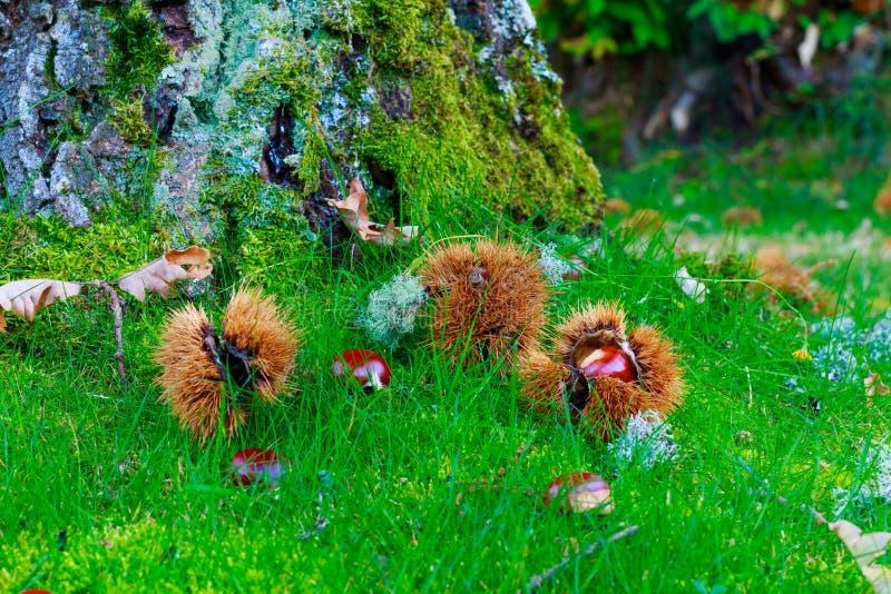 Esta fotografía fue admitida un bosque de la castaña en la provincia de Salamanca en octubre de 2018 En él usted puede ver muchas foto de archivo