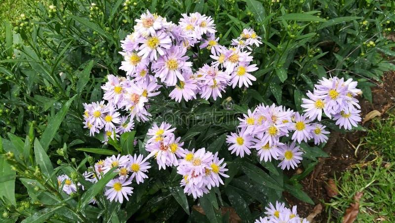 Esta imagem é jardim de flores de Sri Lanka fotografia de stock royalty free