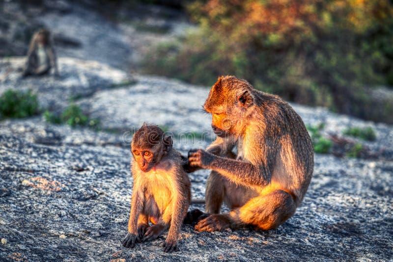 Esta imagem original mostra os macacos selvagens no crepúsculo na rocha do macaco em Hua Hin em Tailândia fotografia de stock