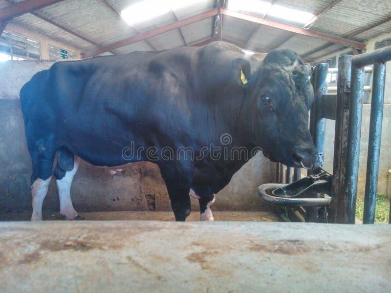 Esta imagen es toro de Sri Lanka fotos de archivo libres de regalías