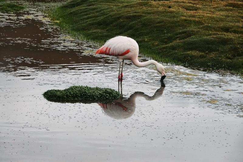 Esta??o do flamingo em Uyuni, Bol?via fotografia de stock royalty free
