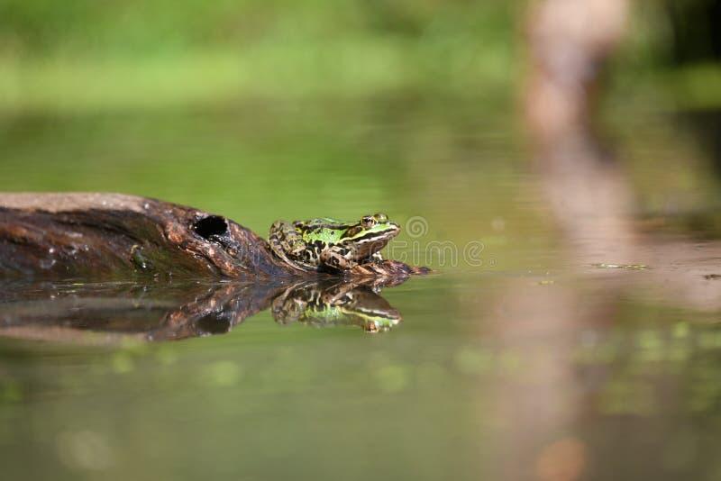 Esta rana se está sentando en una sequedad de la rama en el sol foto de archivo libre de regalías
