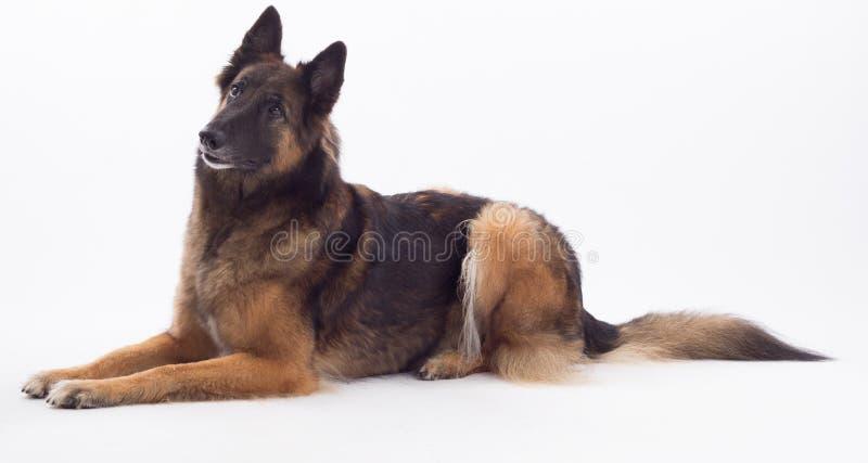 Estabelecimento belga da cadela de Tervuren do pastor imagem de stock royalty free