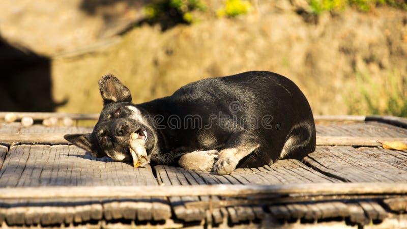 Estabelecimento de relaxamento do cão preto da vila e mastigação no osso na luz solar no meio-dia no patamar fotos de stock