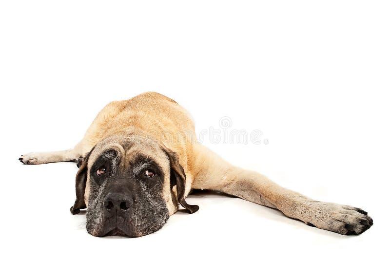 Estabelecimento do cão do Mastiff foto de stock royalty free