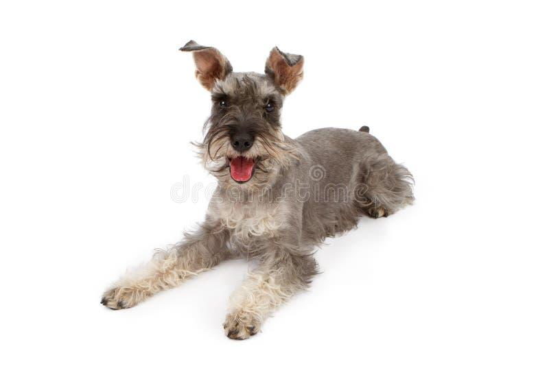 Estabelecimento do cão do Schnauzer diminuto fotos de stock