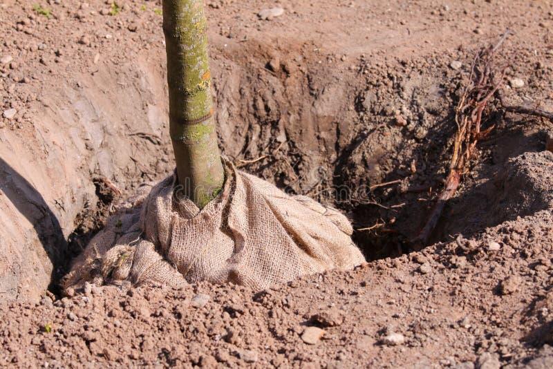 Establecimiento de árboles foto de archivo libre de regalías