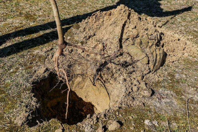 Establecimiento de árboles en la primavera las raíces de un árbol joven foto de archivo