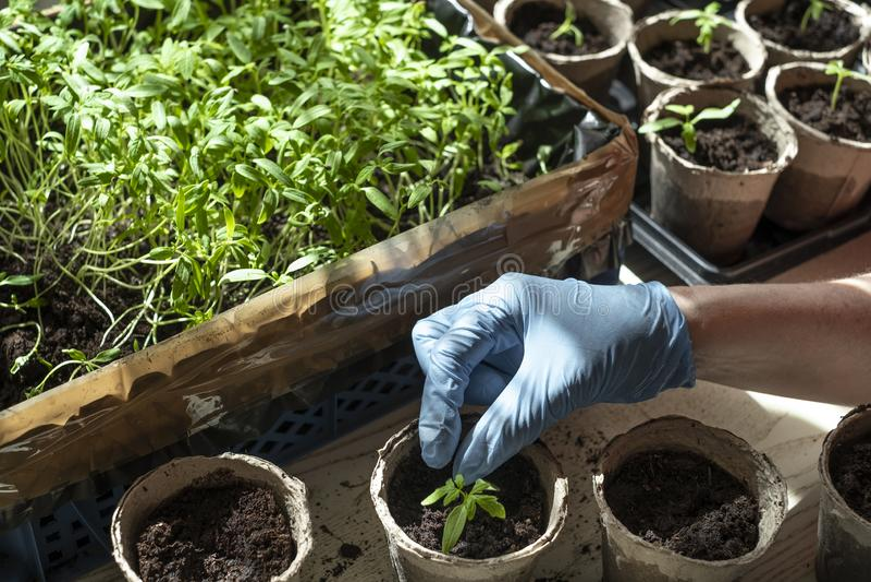 Establecimiento de almácigos del tomate, de la caja con los almácigos, de la taza de la turba y de la mano plantando la planta foto de archivo libre de regalías