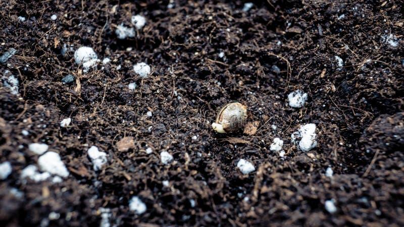 Establecimiento de la semilla de la marijuana en la tierra Cáñamo que crece interior fotos de archivo