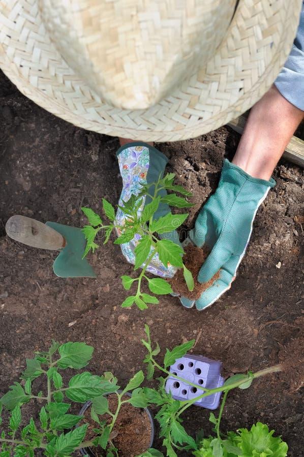 Establecimiento de la verdura en jardín foto de archivo
