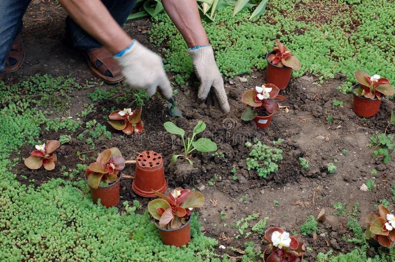 Establecimiento de las plantas de semillero foto de archivo