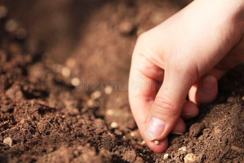 Establecimiento de las semillas de la espinaca imagen de archivo