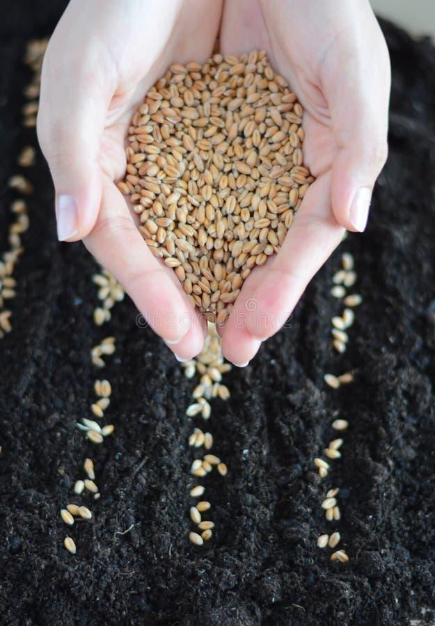 Establecimiento de las semillas del trigo en suelo imagen de archivo libre de regalías