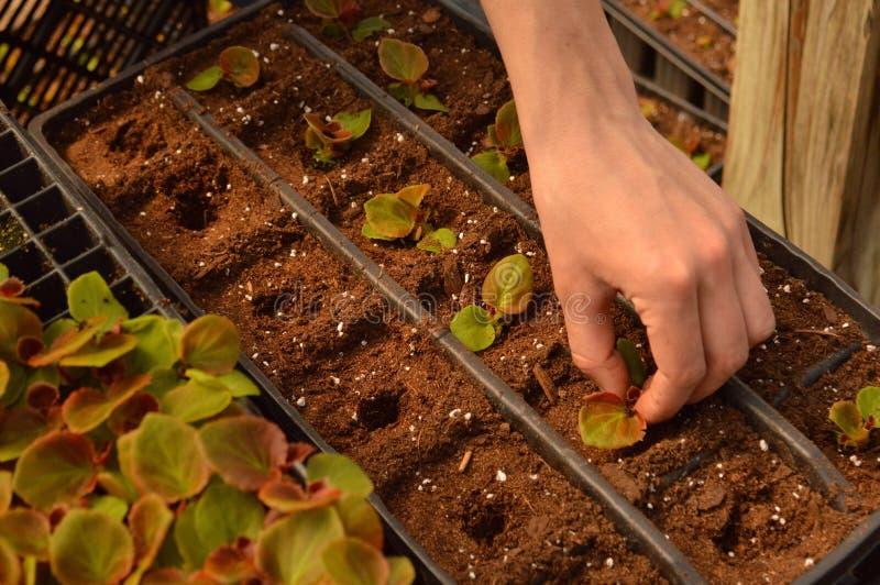 establecimiento de los enchufes de la begonia fotografía de archivo libre de regalías