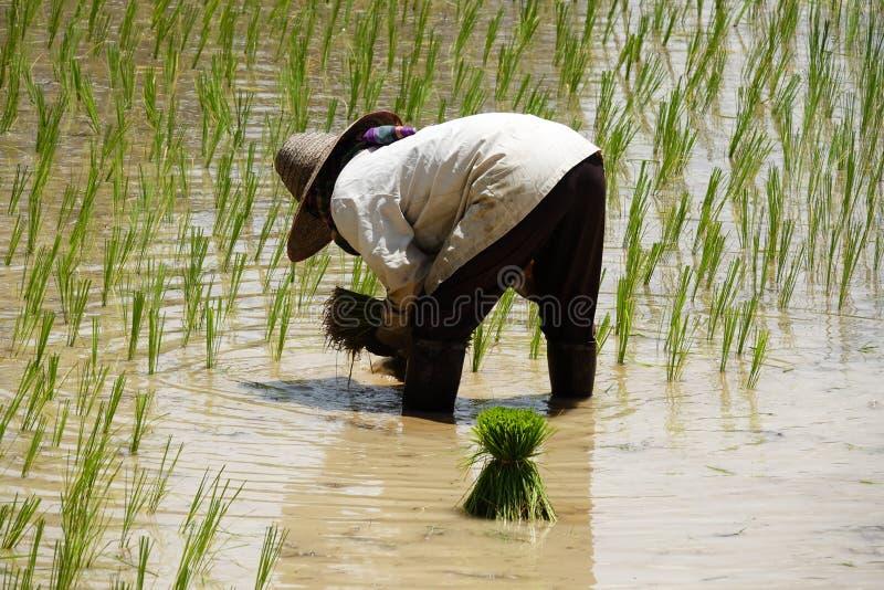 Establecimiento del almácigo del arroz fotos de archivo libres de regalías