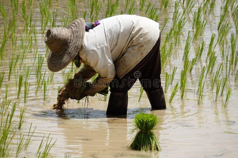 Establecimiento del almácigo del arroz foto de archivo libre de regalías
