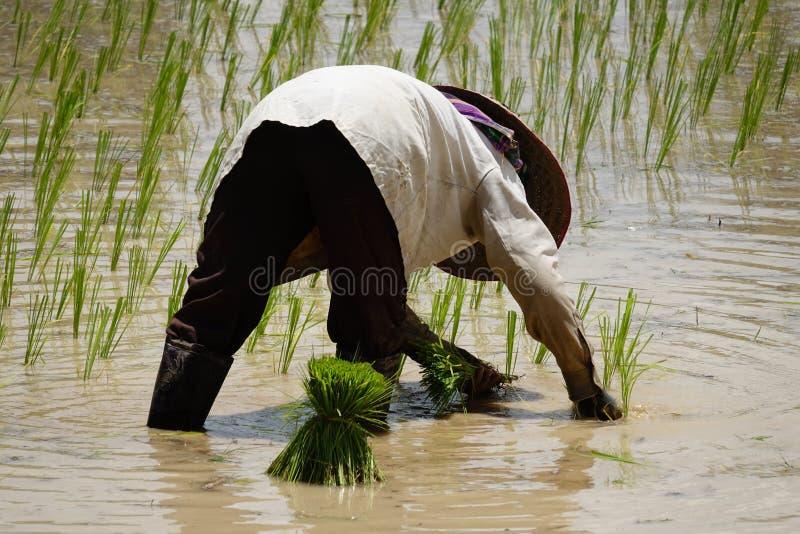 Establecimiento del almácigo del arroz fotografía de archivo