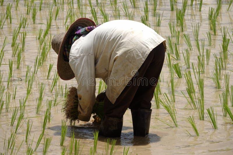 Establecimiento del almácigo del arroz fotos de archivo