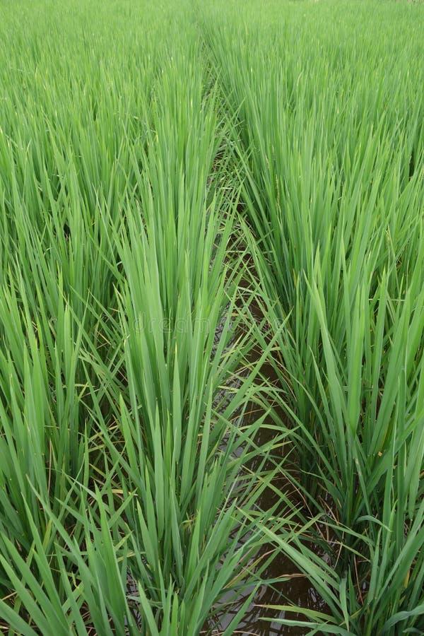 Establecimiento del arroz foto de archivo