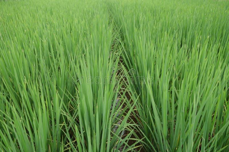 Establecimiento del arroz fotos de archivo libres de regalías
