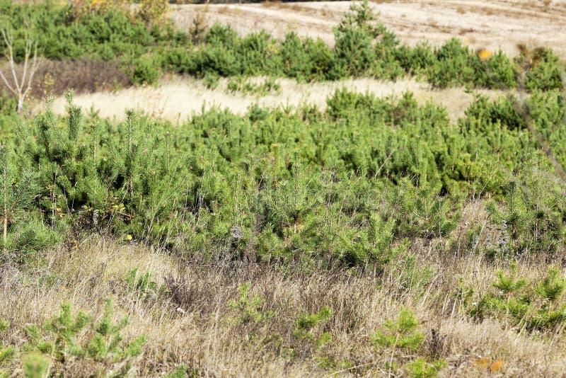 Establecimiento del bosque spruce imagen de archivo