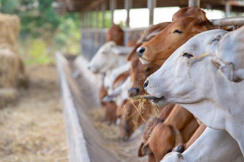 Establo moderno de la granja Vacas de ordeño Las vacas de la casa se utilizan en las ubicaciones, generalmente rurales, sin el ac imagenes de archivo
