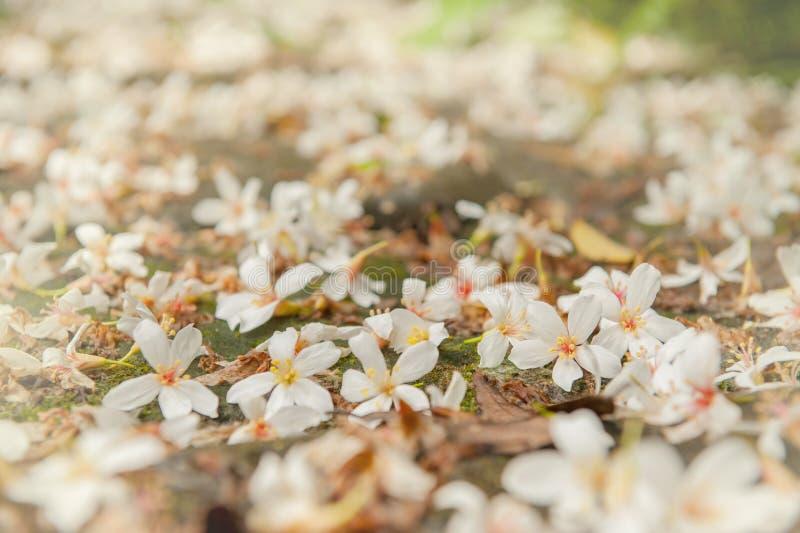 Estación de la flor de cerezo de la primavera, Busán, flor blanca del sur del árbol de KoreaBeautiful tung imágenes de archivo libres de regalías