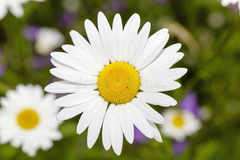estación de primavera de la margarita foto de archivo libre de regalías