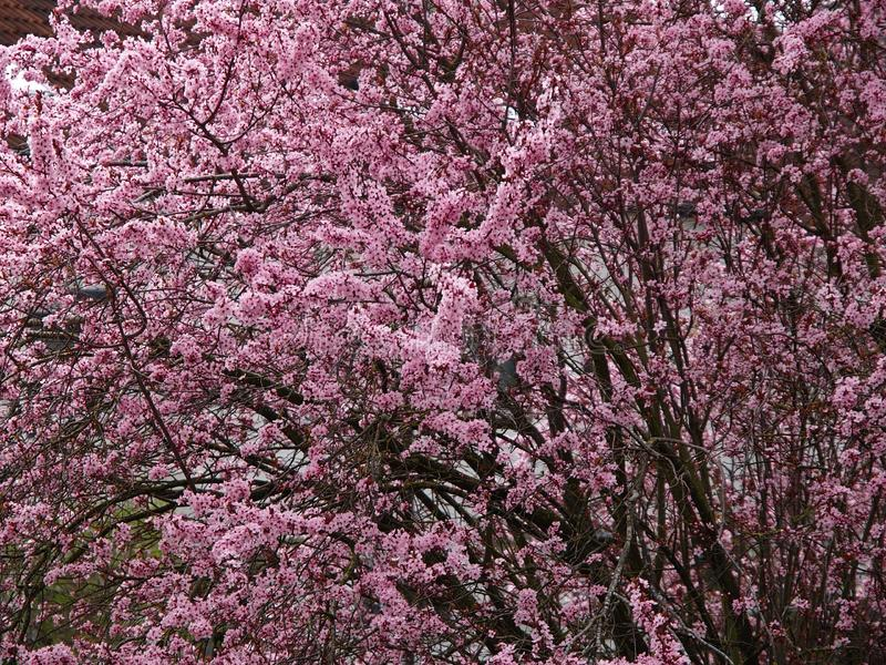 Estación de primavera del flor del rosa del cerezo imagen de archivo