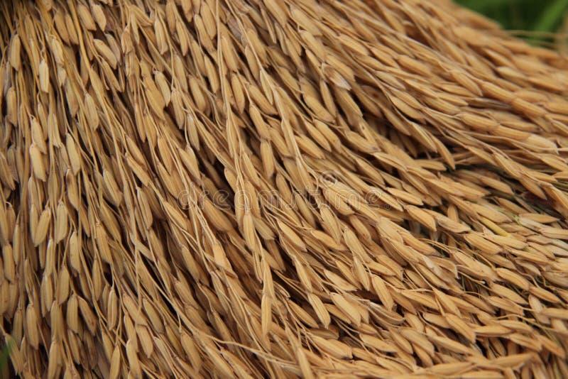 Estación seca de la cosecha del arroz fotos de archivo libres de regalías