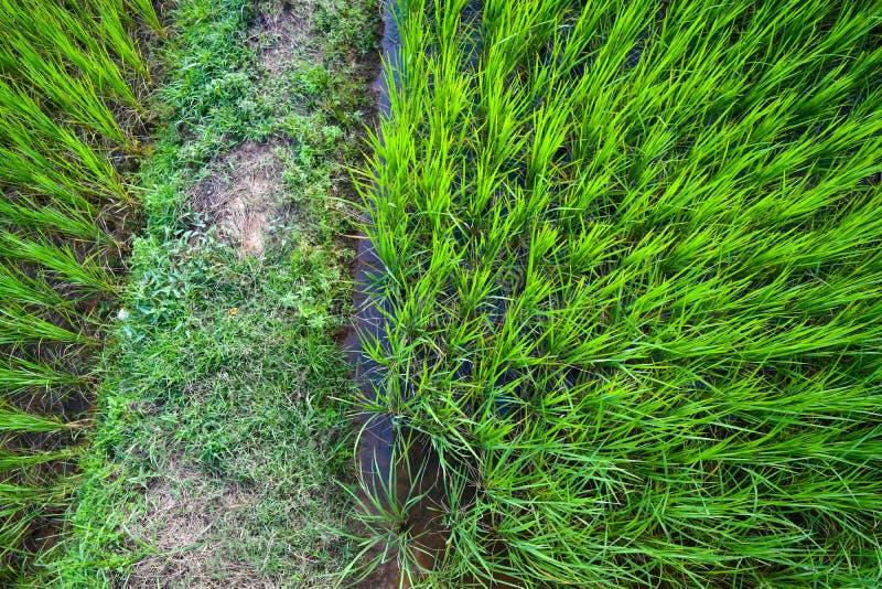 Estación verde del campo del arroz fotografía de archivo libre de regalías
