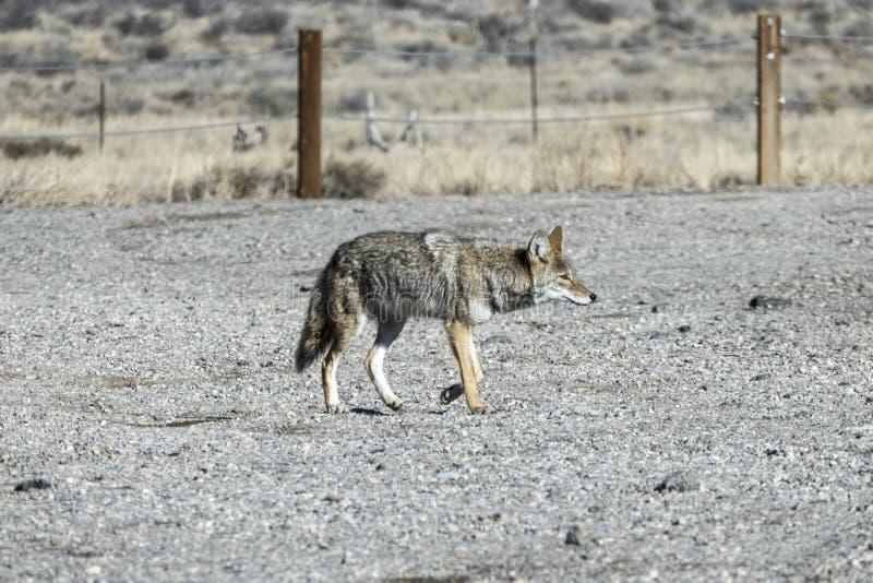 Estacionamiento de vagabundeo de la grava de la travesía del coyote foto de archivo libre de regalías