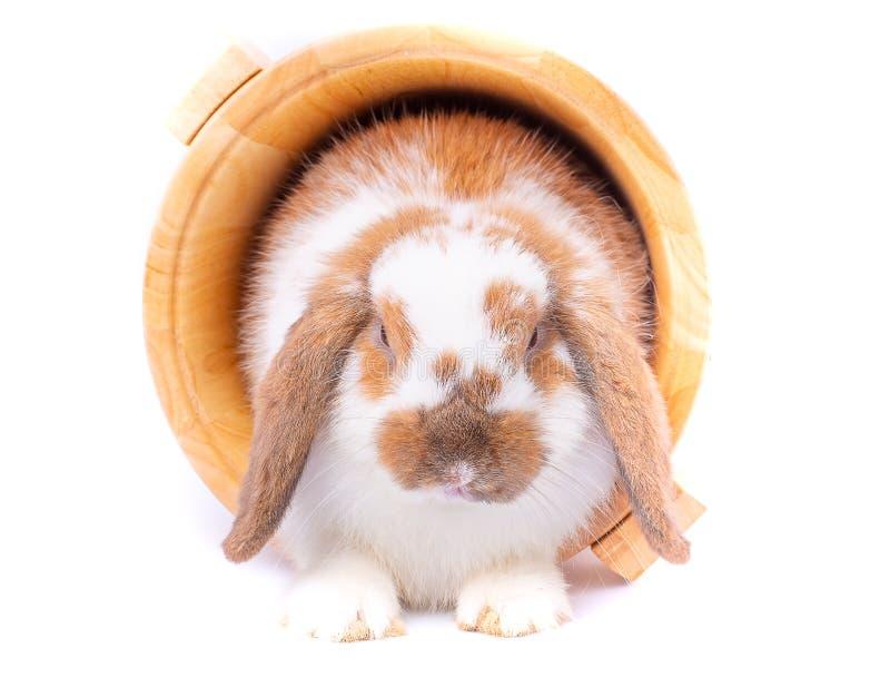 estada branca e marrom do coelho de coelho dentro da cubeta de madeira no fundo branco fotografia de stock