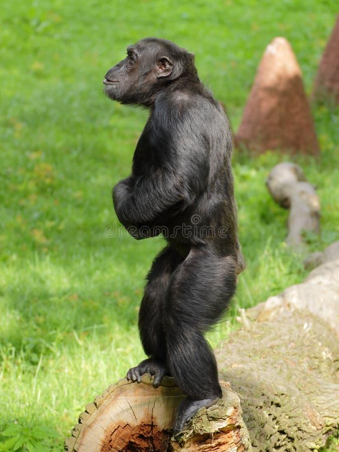 Estada comum do chimpanzé (trogloditas da bandeja) imagem de stock