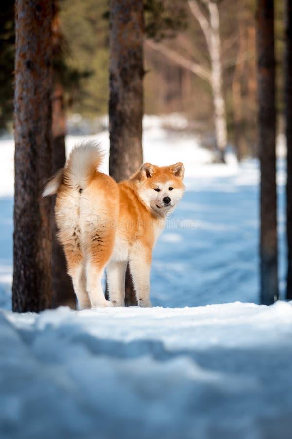 A estada japonesa feliz de sorriso bonita do cão de Akita do retrato traseiro na neve e lambe Árvores no fundo imagens de stock royalty free
