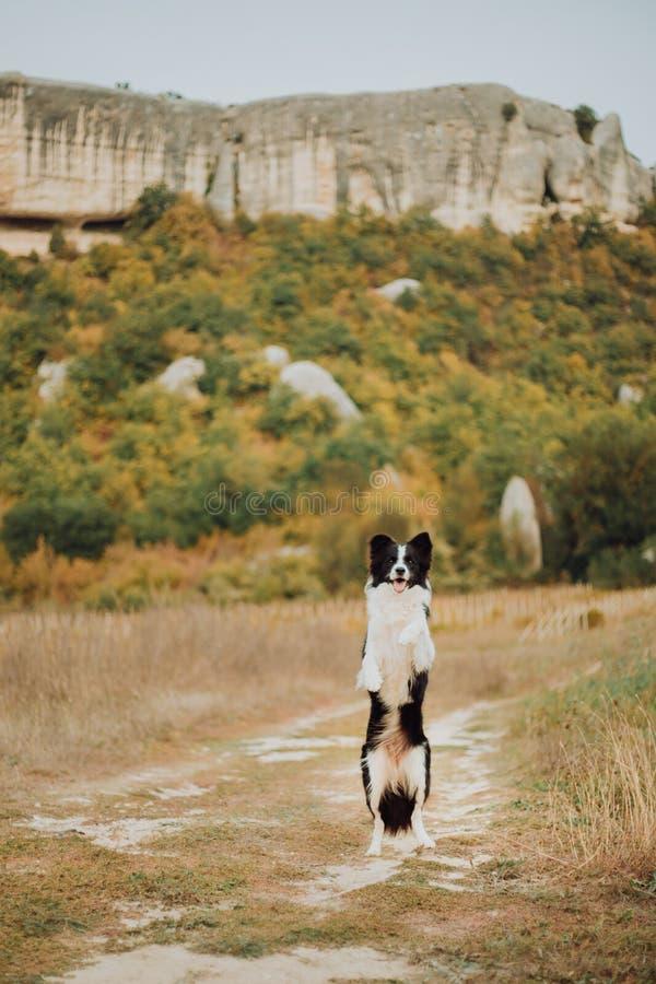Estada preto e branco bonita de border collie do cão na pata traseira no campo Nas montanhas do fundo Espaço para o texto imagens de stock