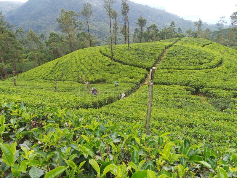 Estado Sri Lanka del jardín de té fotos de archivo libres de regalías