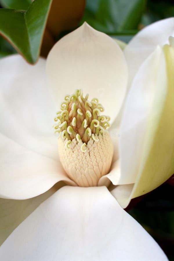 Estambre de la flor del árbol de la magnolia fotos de archivo