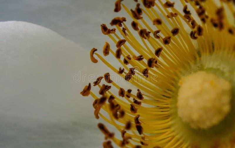 Estambre de la magnolia imagen de archivo