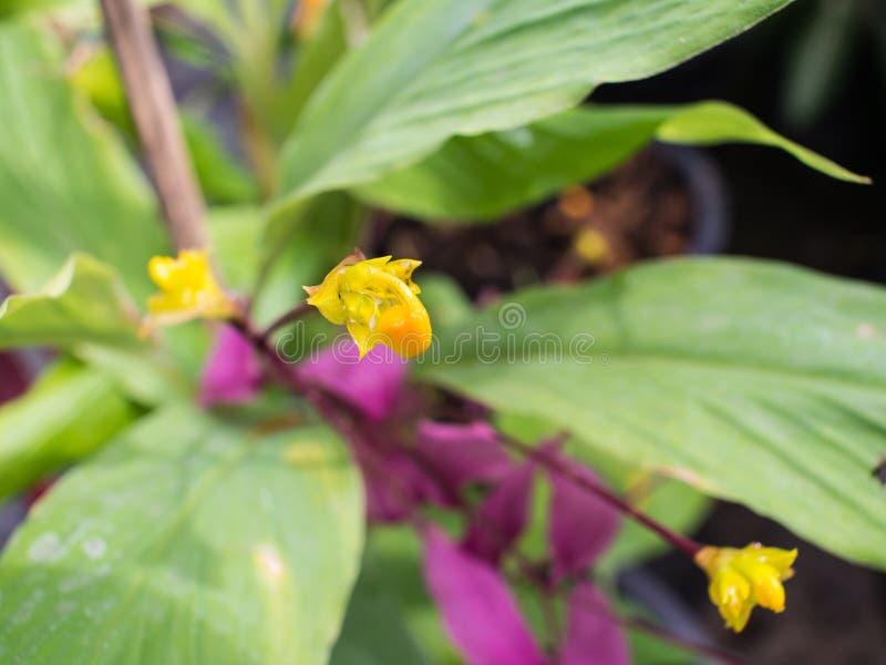 Estambres amarillos de la flor del rosa de Globba imágenes de archivo libres de regalías