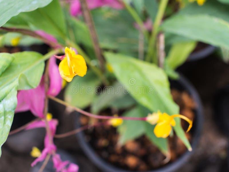 Estambres amarillos de la flor del rosa de Globba fotos de archivo libres de regalías